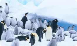 Emperor penguins and chicks at Snow Hill Island rookery