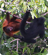 Howler and Spider monkeys frolicking in a tree in Guyana