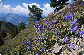 The Alps in Bloom
