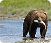 Grizzy bear salmon fishing in Alaska