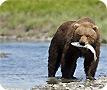 Grizzy bear salmon fishing in Alaska